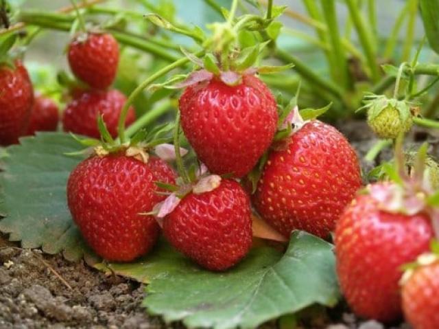 Чем подкормить клубнику или землянику весной