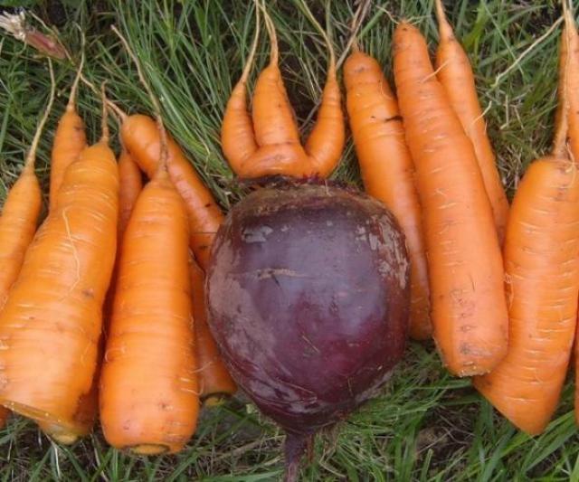 Чтобы свекла и морковка были сладкими