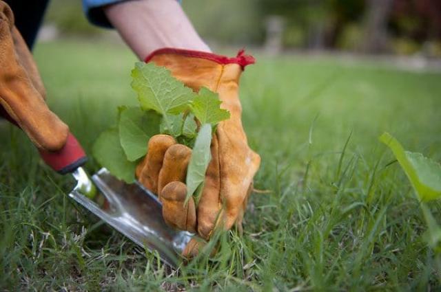 Как избавиться от одуванчиков и клевера на газоне