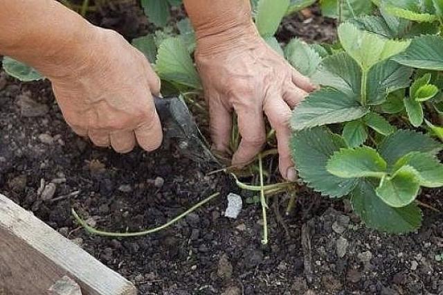 Как набрать посадочный материал со своих кустов и в какие сроки его высаживать?