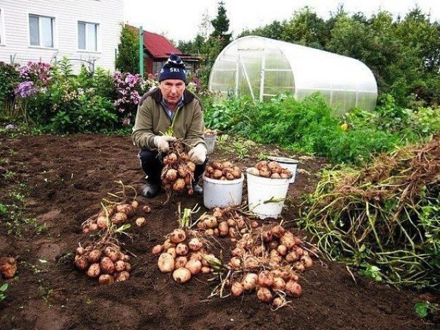 Как с 20-ти кустов собрать 40 вёдер картофеля