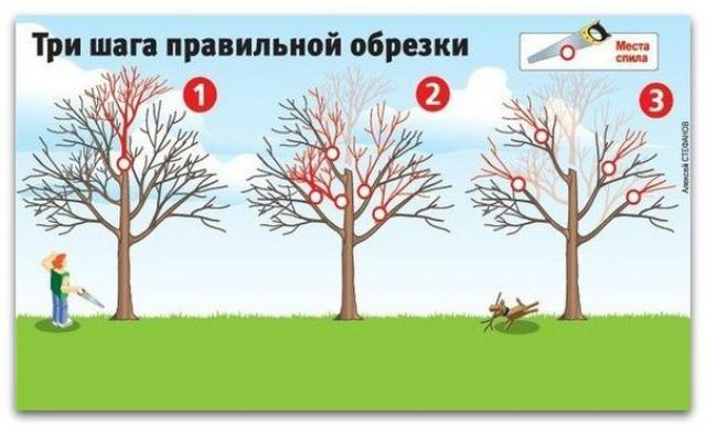 Как вернуть деревьям былую силу — три шага правильной обрезки