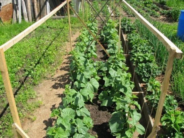 Как выращивать огурцы – пошаговая инструкция для начинающих
