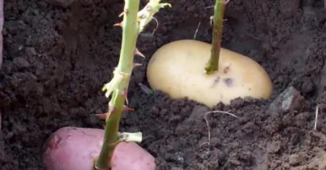 Как вырастать розу с помощью картошки?