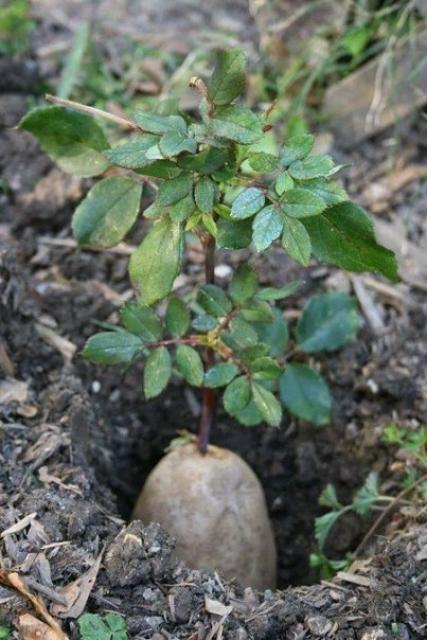 Как вырастить розу с помощью картошки?