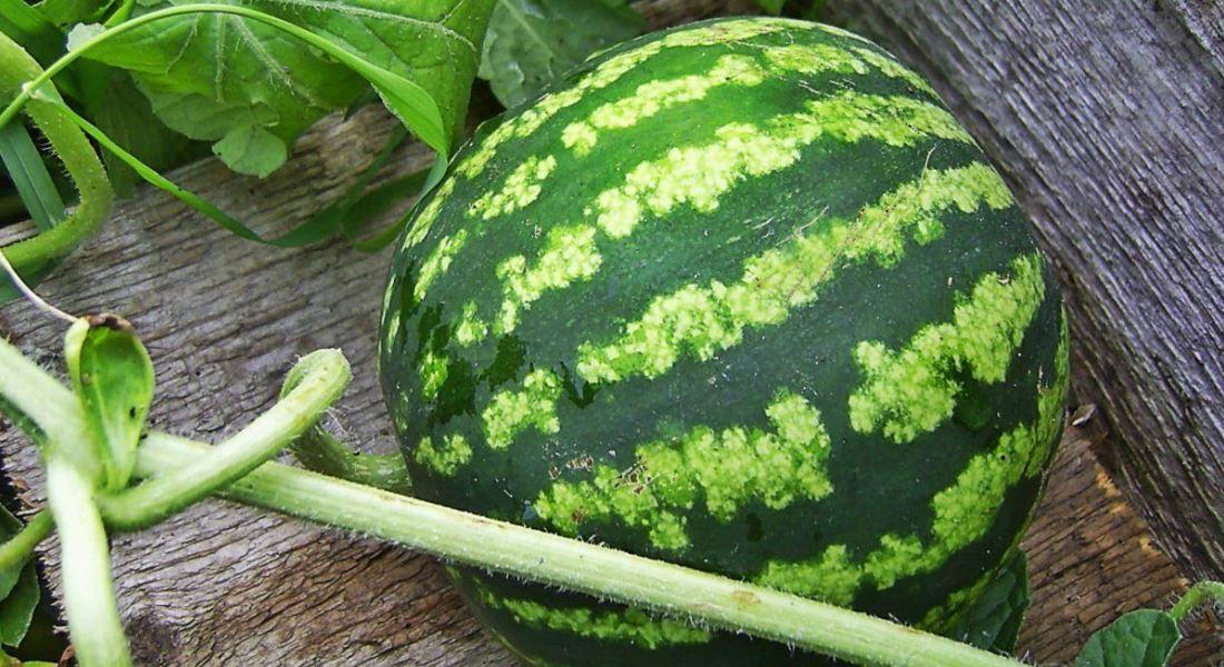 Тонкости и хитрости выращивания арбуза