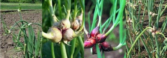 Лук многоярусный — выращивание, размножение и полезные свойства