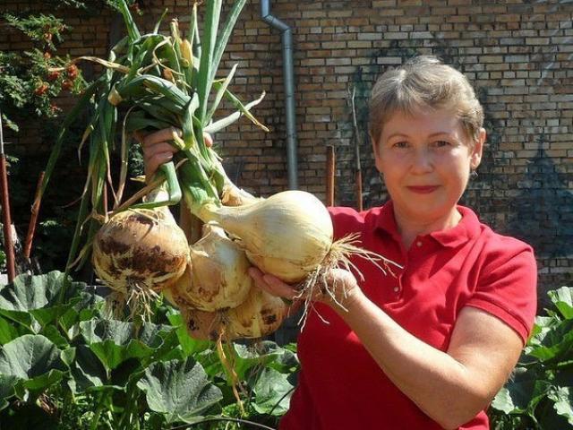 Лук порей и репчатый: советы от дачницы, которая знает толк в выращивании лука!