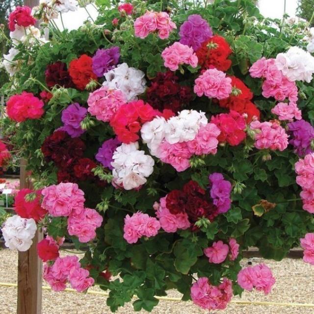 Маленькая хитрость: чтобы ваши цветы в доме цвели пышно и долго!