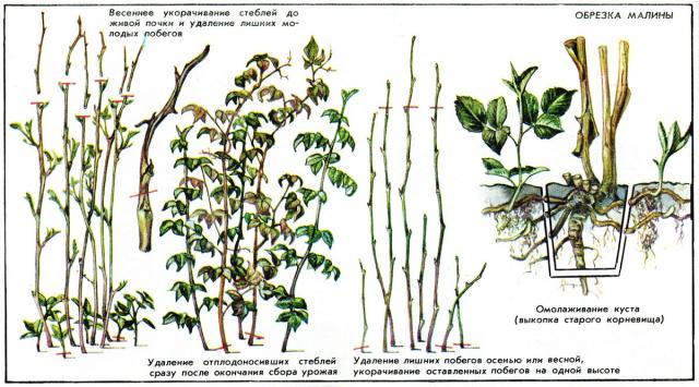 Малина: интересные виды, выращивание и уход,обрезка
