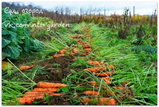 Морковные секреты в копилку