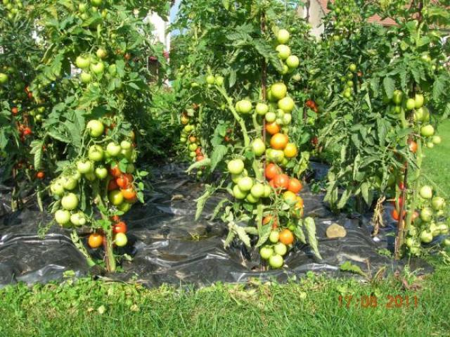 Надежный способ выращивания помидоров: рассада и опрыскивание
