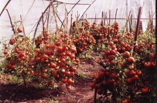Невероятно высокий урожай помидоров