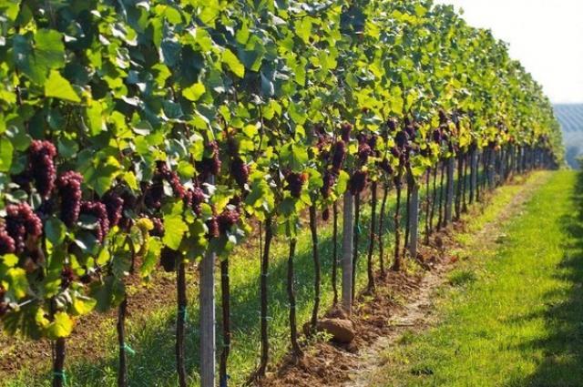 Обрезка винограда для начинающих: формировка куста винограда путем обрезки