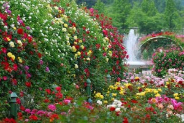 Особенности ухода за розами: плетистыми, флорибунда, чайно-гибридными