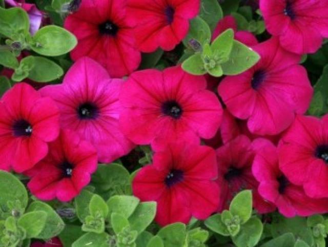 Петуния — очень благодарный цветок