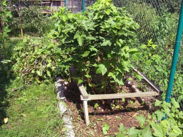 Подкормка посадок смородины для получения хорошего урожая