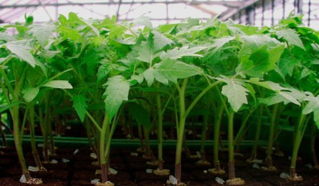 Полезные растворы для рассады томатов