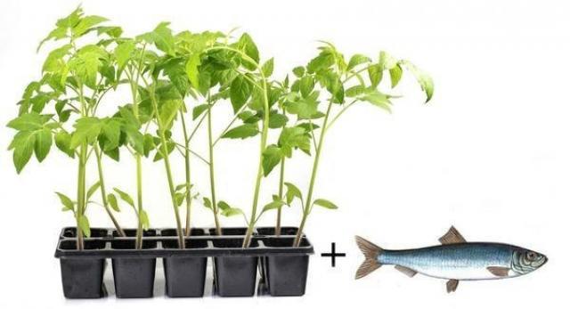 Положите рыбку под помидорную рассаду, чтобы помидоры были крепкими