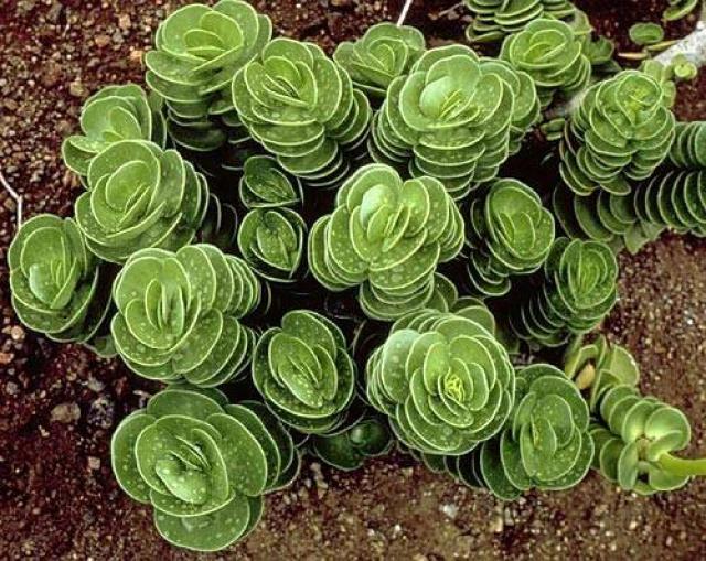 Портулак или дандур: выращивание из семян, посадка, уход