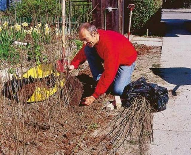 Правила посадки и ухода за живой изгородью из дерена белого и других видов