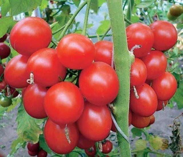 Применяем пять приемов, чтобы томаты не жировали, не наращивали пышную зелень в ущерб урожаю.