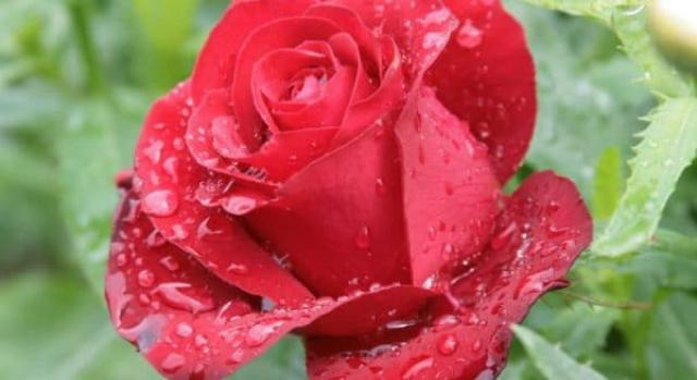 Простое средство для здоровья роз. Это интересно.
