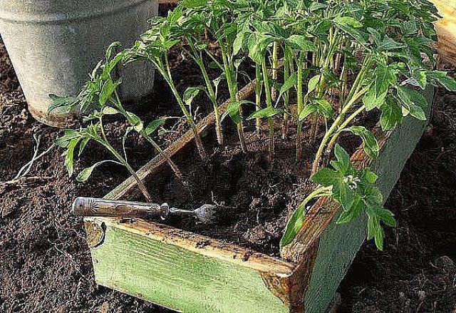 Рассаду помидоров поливайте раствором йода для более быстрого роста