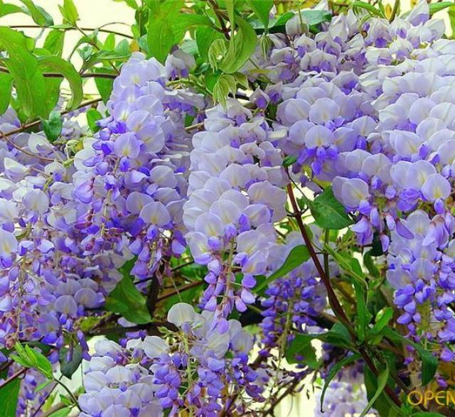 Сад цветов Кавати Фужи в Японии