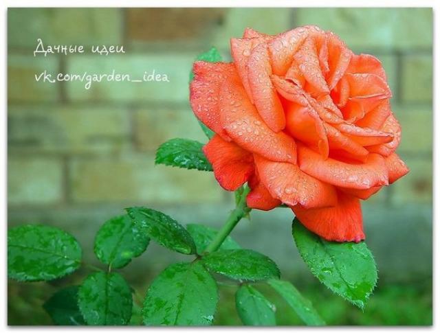 Шесть ошибок при выращивании роз в саду
