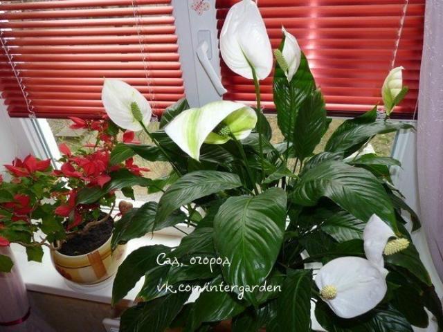 Спатифиллум — женское счастье