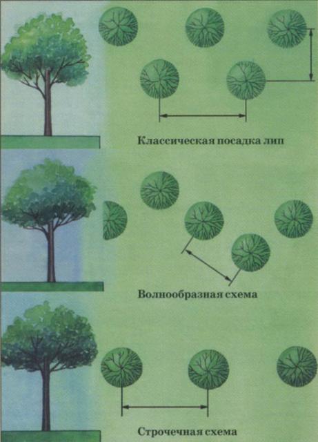 Уникальные советы по созданию красивой живой изгороди из липы своими руками