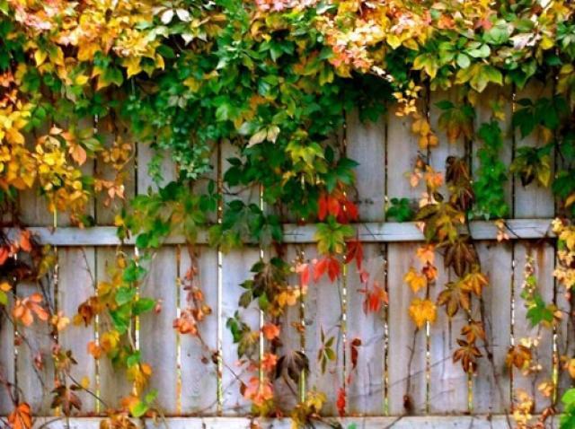 Живая изгородь из девичьего винограда – красивое и фунциональное украшение участка