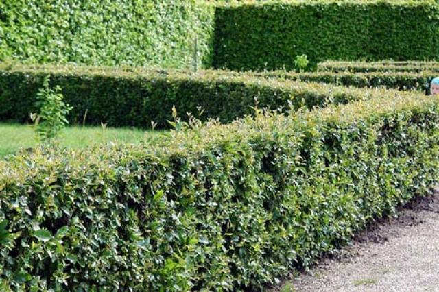 Живая изгородь из кизильника – фото красивых ограждений и правила выращивания